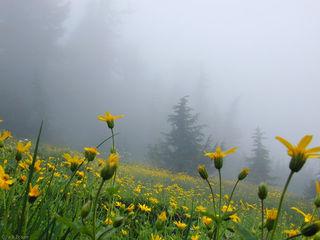 foggy flowers, Washington, Cascades