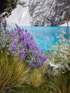 Lupine, Laguna 69, Cordillera Blanca, Peru