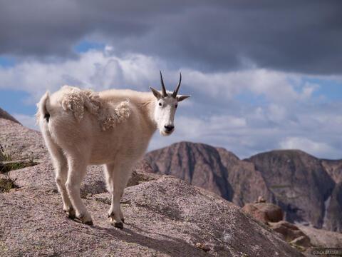 Weminuche Goat