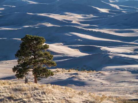 Dunes Tree