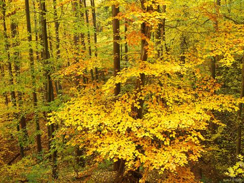 Golden Black Forest #2