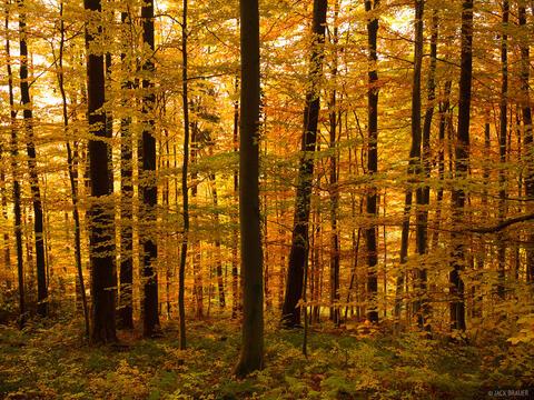 Golden Black Forest #3