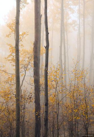 Foggy Autumn Aspens