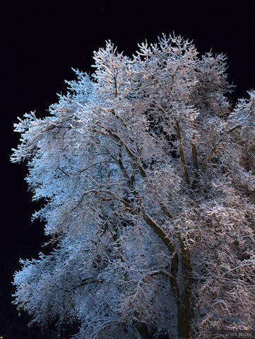 Frosted Tree at Night