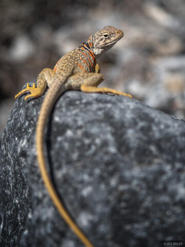 Collared Lizard in House Range