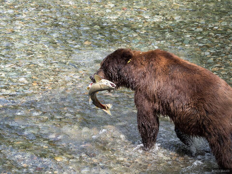 Salmon and Grizzlies in Hyder