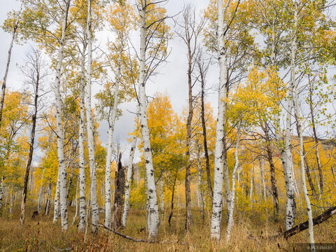 Guardsman Aspens