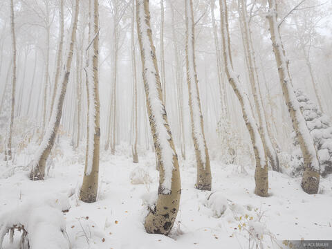 Snowy Creeping Aspens