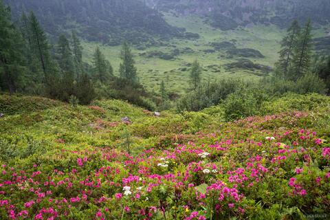 Alpenrose in the Rain