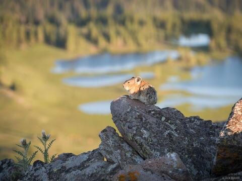 Pika on Trappers Peak