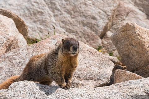 Marmot in Rocks
