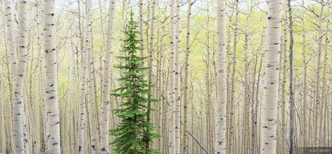 Lone Pine in Aspens