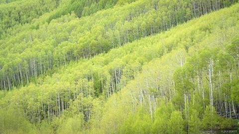 Spring Green Aspens