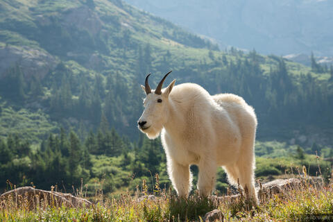 Mountain Goat Meadow