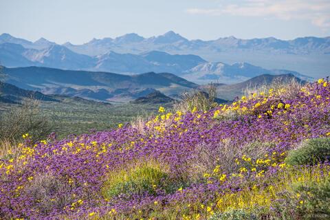 Mojave Bloom