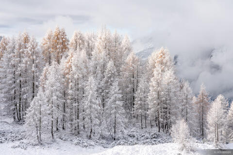 Frosty Larch