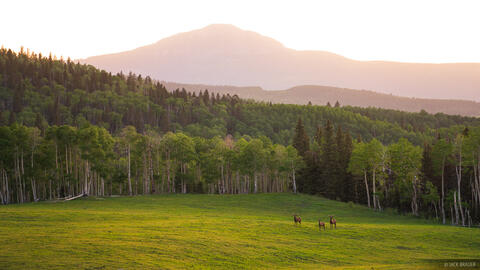 Three bull elk graze on a meadow after sunset in the San Miguel Range of Colorado.