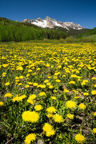 Wilson Peak Dandelions