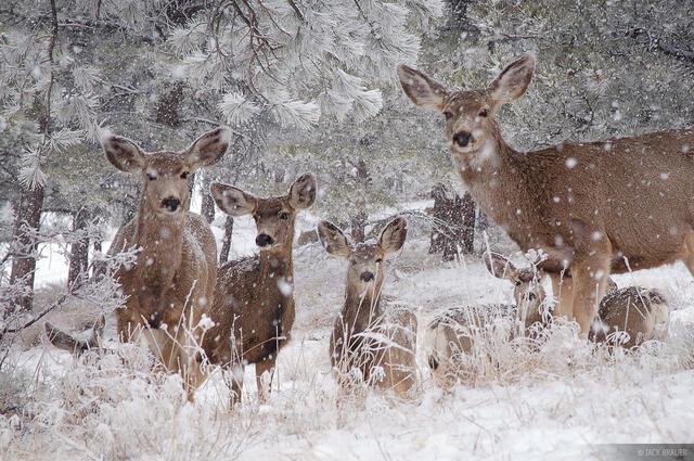 snowy deer, Front Range, Boulder, Colorado