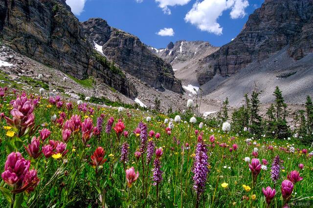 Ogalalla Peak, wildflowers, Indian Peaks, Colorado