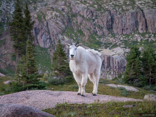 Colorado, Needle Mountains, San Juan Mountains, Weminuche Wilderness, mountain goat