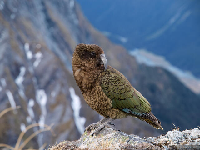 Kea, parrot, Southern Alps, New Zealand