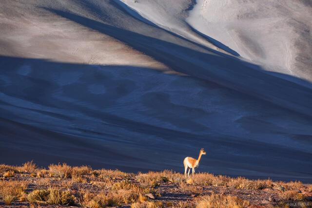vicuña, Aguas Calientes, Atacama, Chile