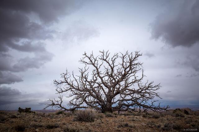 Chimney Canyon,San Rafael Swell,Utah, tree