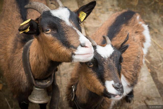 Austria, Binsalm, Karwendel, goats, Alps