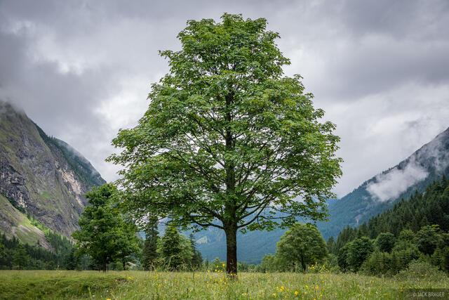 Austria, Engalm, Karwendel, Alps, Eng Alm, Engtal, maple tree, tree