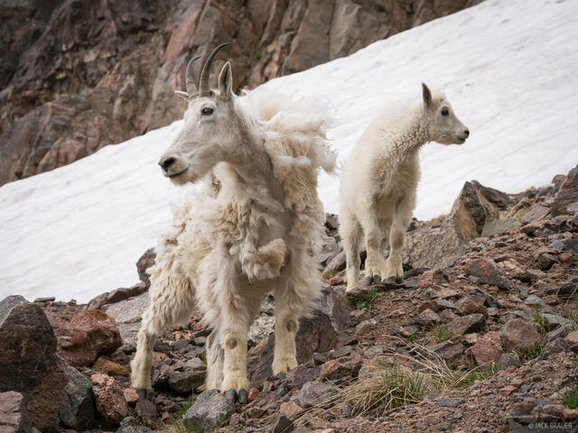 Colorado, Gore Range, mountain goat, Eagles Nest Wilderness, Kneeknocker Pass