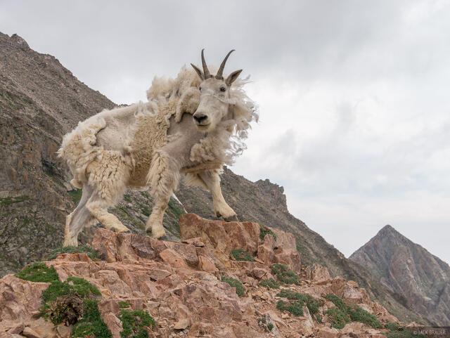 Colorado, Gore Range, mountain goat, Eagles Nest Wilderness, Kneeknocker Pass