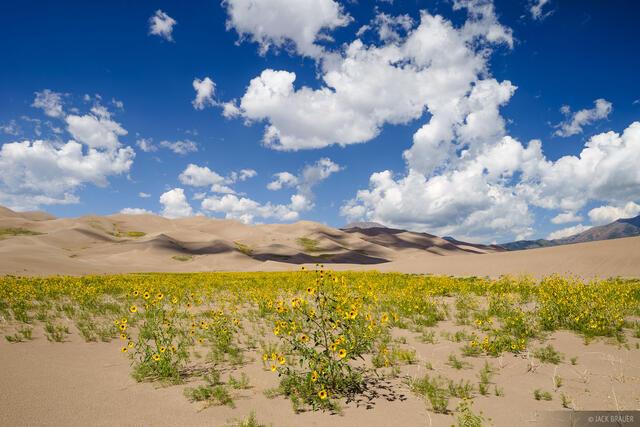 Colorado, Great Sand Dunes, wildflowers, sunflowers