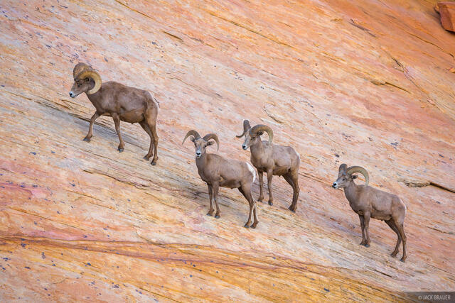 Nevada, Valley of Fire, bighorn sheep
