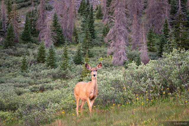Colorado, San Juan Mountains, Weminuche Wilderness, deer