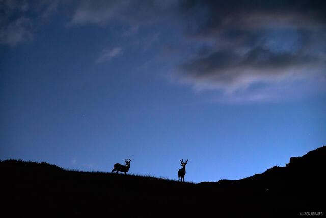 Colorado, San Juan Mountains, Weminuche Wilderness, deer