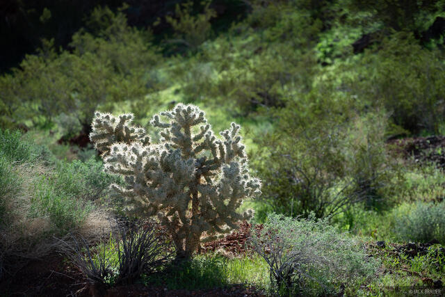Nevada, Pinto Valley Wilderness, cactus, Mojave Desert, Lake Mead National Recreation Area