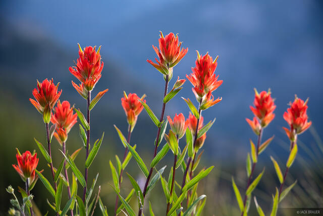 Colorado, San Juan Mountains, wildflowers
