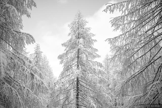 Dolomites, Italy, Parco Naturale delle Dolomiti Fruilane, bw, larch, November, Alps