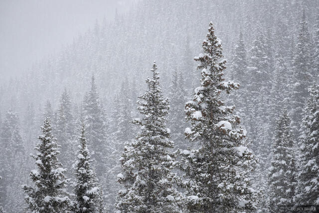 snowy trees, San Juans, Colorado, forest