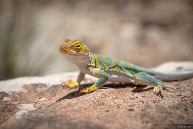 Colorado, Gunnison Gorge, Gunnison River, lizard
