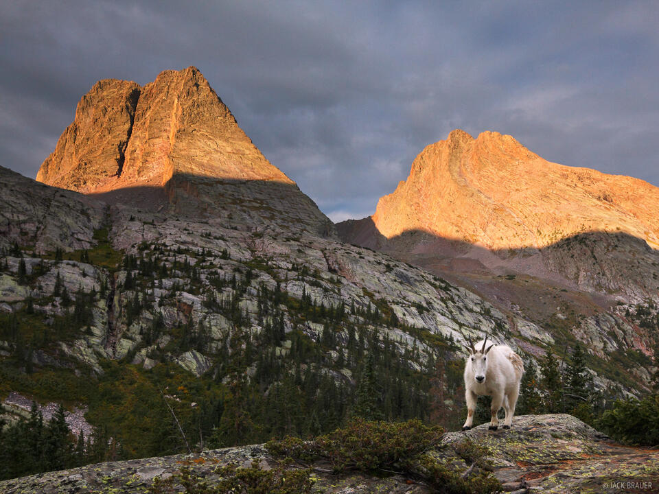 Mountain goat, Vestal Peak, Arrow Peak, Grenadier Range, San Juan Mountains, Weminuche Wilderness, Colorado