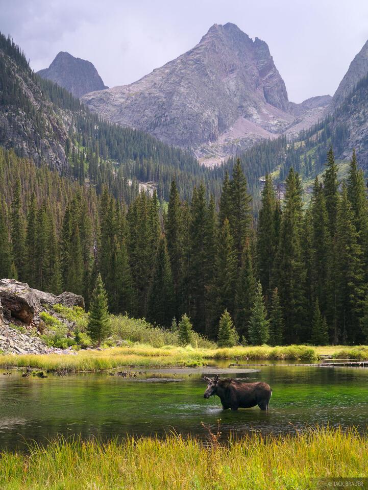 Moose, Elk Creek, Beaver Ponds, Arrow Peak, Grenadier Range, San Juan Mountains, Colorado