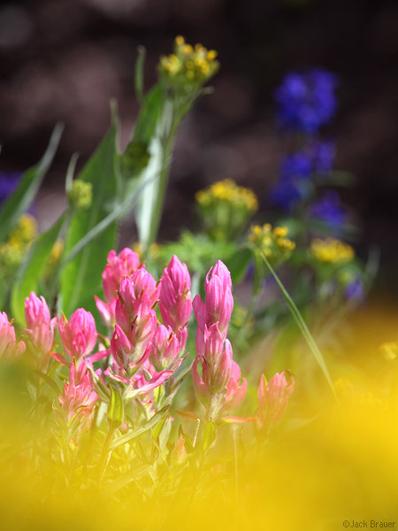 paintbrush, wildflowers, Uncompahgre Wilderness, Colorado, photo