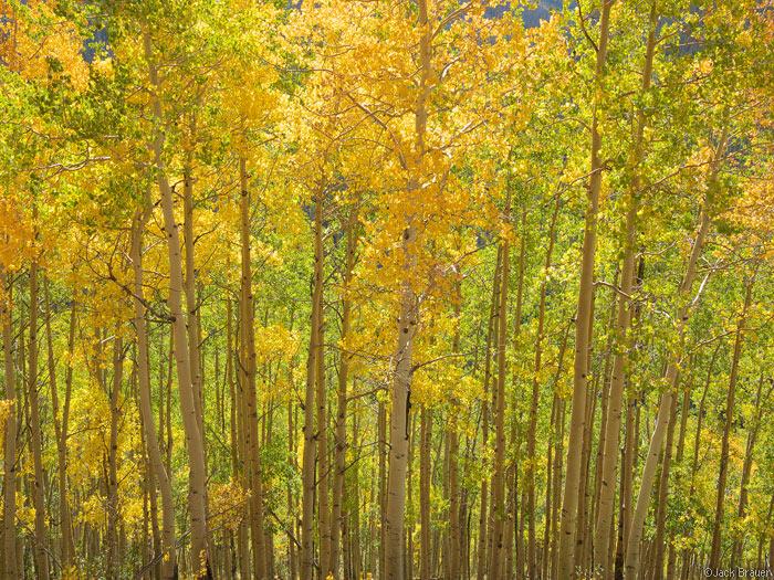 aspens, San Juan Mountains, Colorado, photo