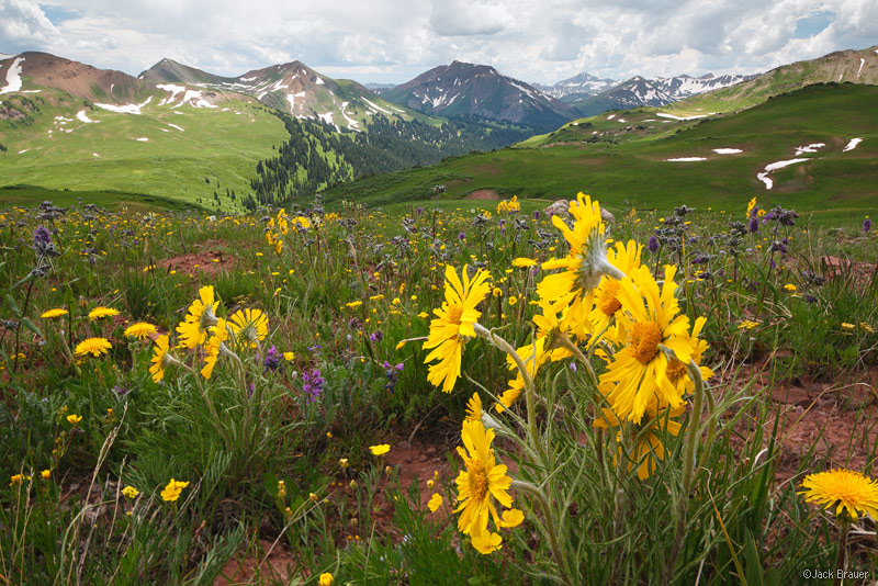 Purity Basin, sunflowers, Elk Mountains, Colorado, July