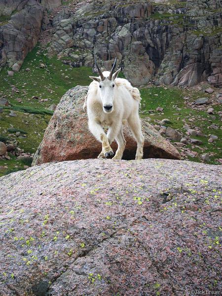 mountain goat, Weminuche Wilderness, San Juan Mountains, Colorado