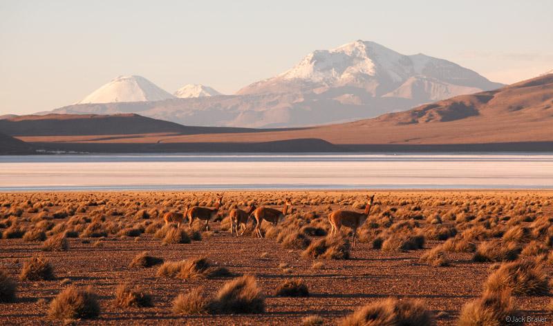 vicuña, Salar de Surire, Chile