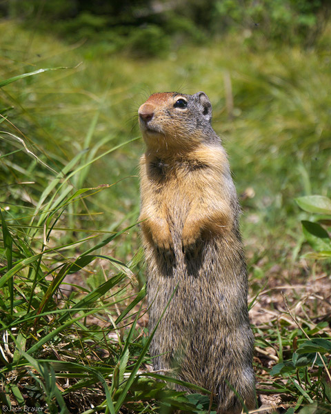 Richardson's Ground Squirrel, Spermophilus richarsonii, ground squirrel, squirrel, Glacier National Park, Montana