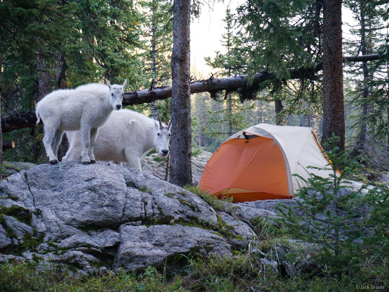 Mountain Goats Weminuche Wilderness San Juan Mountains Colorado Tent